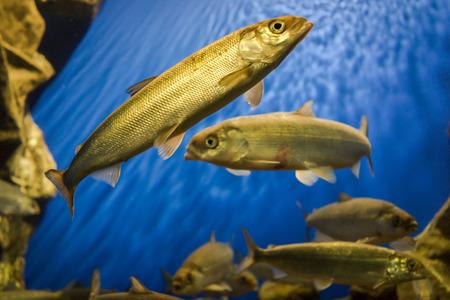 limnetic: Baikal omul in the aquarium. Baikal omul - fish, fumbling only in Lake Baikal Stock Photo
