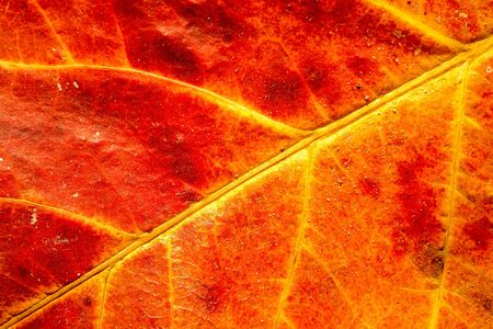 leaf close up: Rhizophora mangle leaf close up as a background Stock Photo