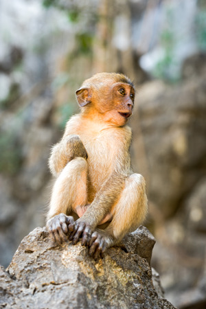 hairy arms: Little Monkey (Crab-eating macaque) sitting on the rock looking side