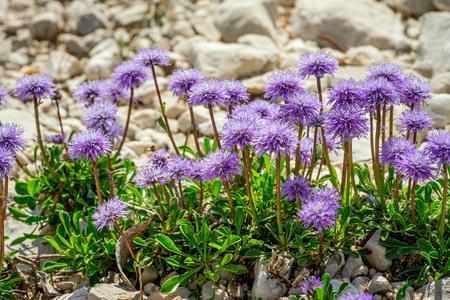 genus: Dainty mauve Scabiosa columbaria - a genus in the honeysuckle family (Caprifoliaceae) Pigeon scabious, Pincushion flower, Small scabious, Dove pincushion flowering in spring is a delightful plant.