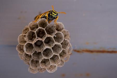 apocrita: Wasp sitting on the cells (Vespula vulgaris) Stock Photo