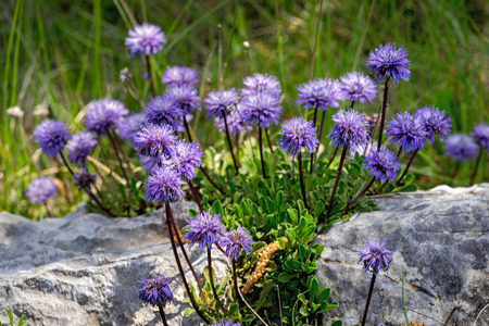 delightful: Dainty mauve Scabiosa columbaria - a genus in the honeysuckle family (Caprifoliaceae) Pigeon scabious, Pincushion flower, Small scabious, Dove pincushion flowering in spring is a delightful plant.