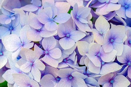 Blue hydrangea flora background.