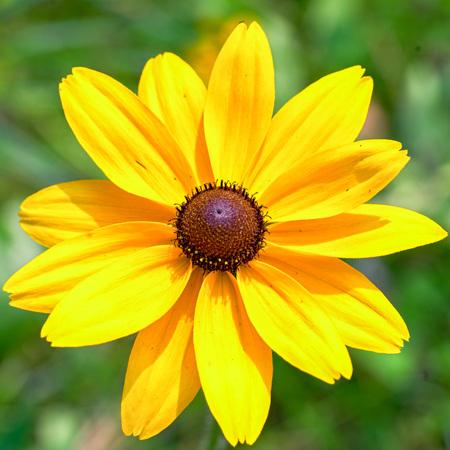 Yellow Rudbeckia Black eyed Susan Flower Stock Photo