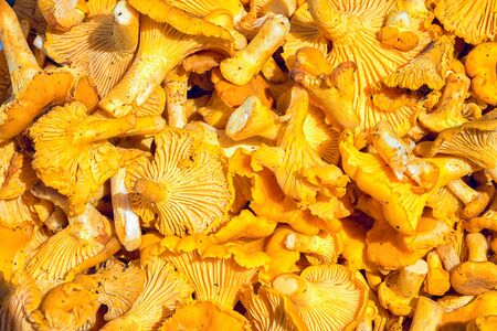 cantharellus cibarius: Pile Of Chanterelle Mushrooms For Cooking. Yellow Chanterelles (Cantharellus Cibarius) Background Stock Photo