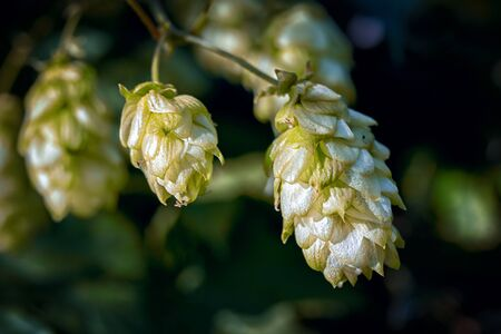 detail of hop cones in the hop field Stock Photo