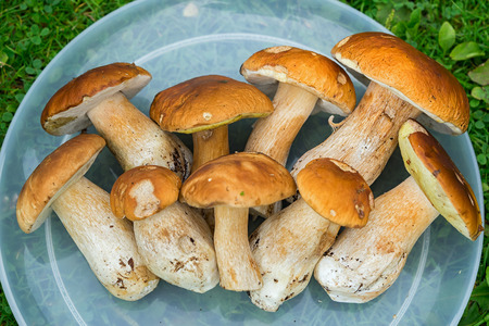 edulis: fresh white mushrooms (Boletus edulis) on a tray