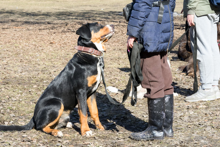 bernese mountain dog sitting in front of its owner during the dog obedience outdoor training