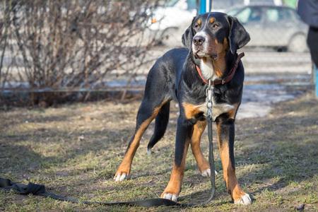 Appenzeller sennenhund dog standing outdoors