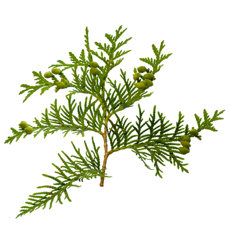 thuja branch isolated on white background