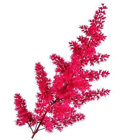 plushy pink astilbe flower isolated on white background