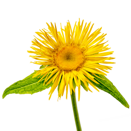 one elecampane flower side view with stem isolated on white background