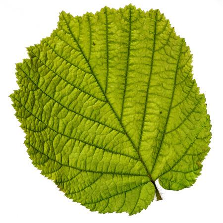 one hazelnut tree leaf close up, isolated on white background