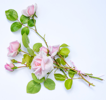 bouquet of pink climbing roses with buds, flat lay on white background, with copy space Stock Photo