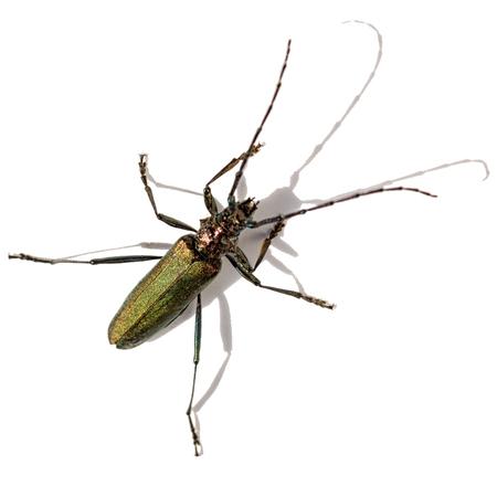 Longhorn beetle isolated on white background Stock Photo