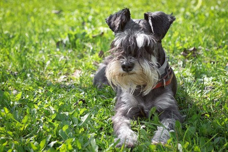 black and white miniature schnauzer laying in a green grass outdoors Stockfoto