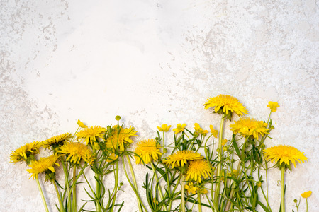dandelions laying on the beige textured cement background, top view with copy space above for your text.