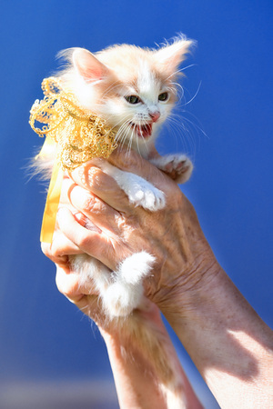 little ginger and white spots kitten sitting on the hands with ribbon bow on the neck as a present on a sky background Stock Photo
