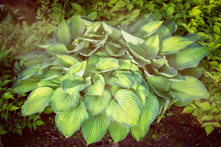 big green and yellow hosta plant outdoor Stock Photo
