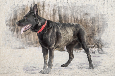 Stylized by watercolor sketch painting on a textured paper of black belgian shepherd Groenendael full lenght portrait in the winter forest Stock Photo