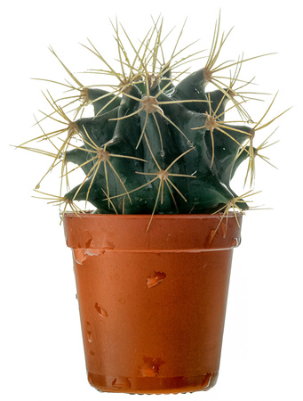 Small spherical spiny cactus in a plastic pot, side view, isolated on white