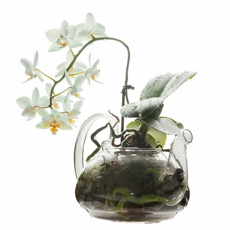 Blooming white phaleaenopsis orchid in a transparent glass teapot isolated on white