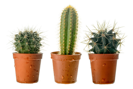 Set of three cactuss in a plastic pot, side view, isolated on white Stock Photo