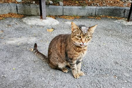 Sick cat with shingles on his head on the street.