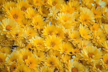 carpet of yellow chrysanthemums as a background
