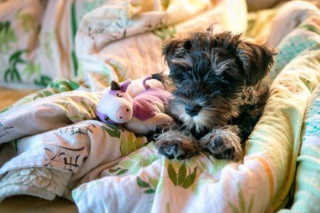 Miniature schnauzer puppy laying in bed with toy.