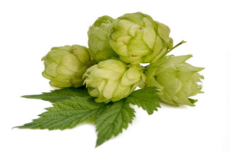 Fresh green hop branch isolated on white background. Hop cones for making beer and bread. Stockfoto