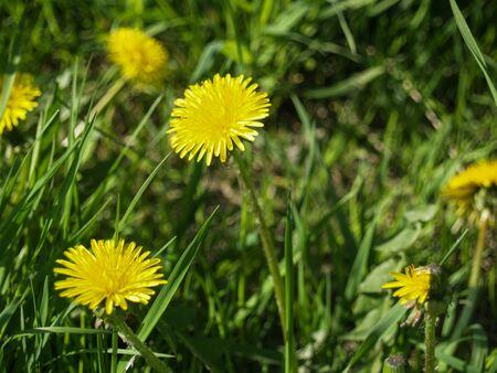 messengers: Messengers sun yellow flowers Stock Photo