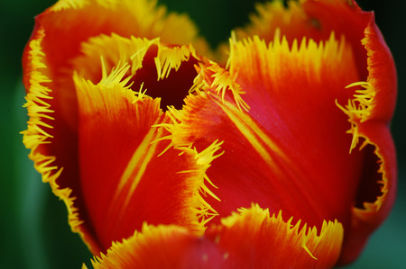 red tulip: red and yellow tulip