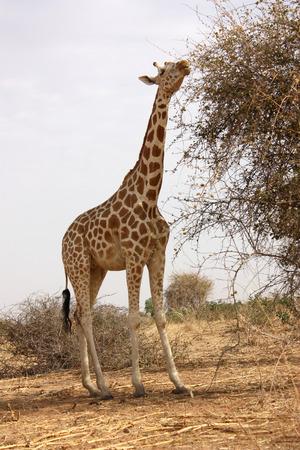 theories: giraffe