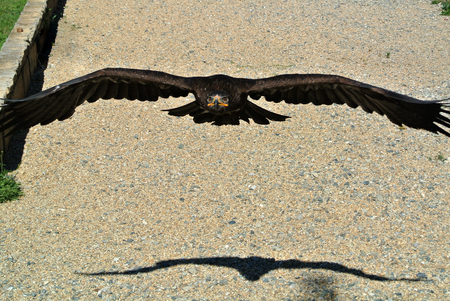 falcon in flight Фото со стока