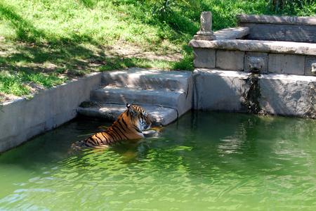 tiger inside the pond.