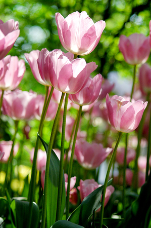 field of white and pink tulips