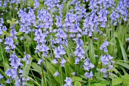 flowery meadow of purple flowers