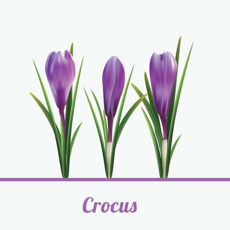 Print crocus white background spring flowers vector illustration.