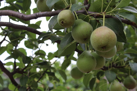 pears hang on a branch Stock Photo