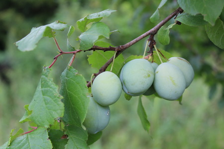 green plums on the branch are unripe Zdjęcie Seryjne