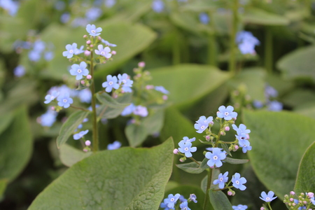 blue flowers forget-me-in summer