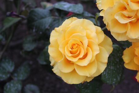 noble yellow rose in the garden