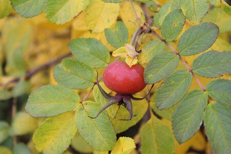 rosehip close-up