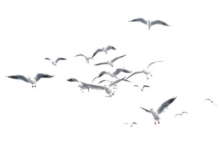 Flying seagulls. Isolated birds.