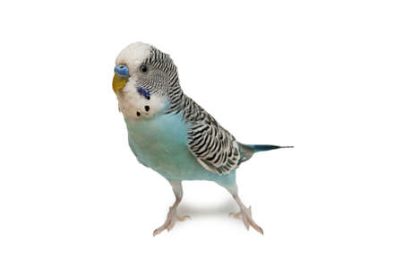 Blauwe golvende papegaai Stockfoto