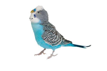undulatus: Blue budgerigar isolated on white background