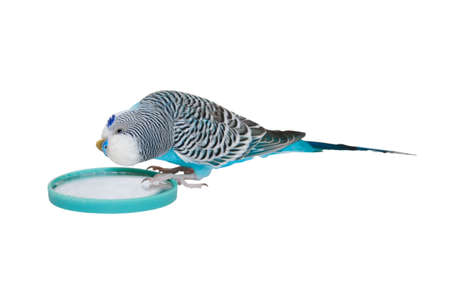 Blue male budgerigar looks in the mirror photo