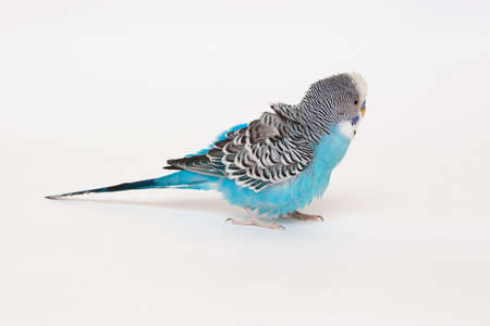 Blue budgerigar fluffed up feathers photo