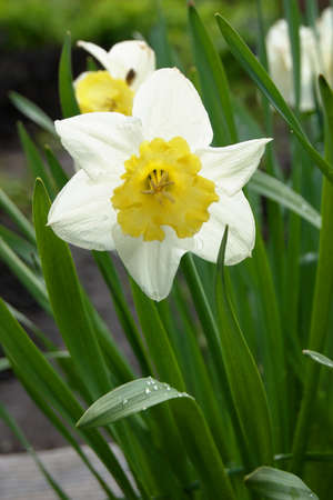 jonquil: narcissus. jonquil. narcissus flowers